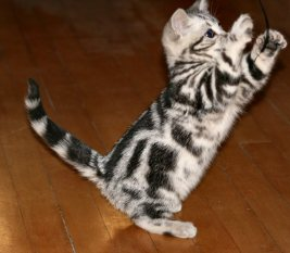 Image of Fancy American Shorthair silver tabby kitten on wood floor right side with paws in air