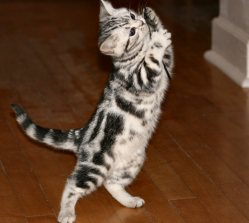 Image of Fancy American Shorthair silver tabby kitten on wood floor standing on hind legs playing with string