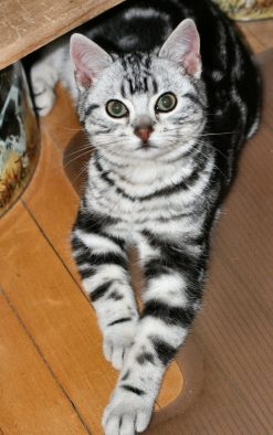 Image of American Shorthair classic silver tabby kitten showing necklace and bracelet markings