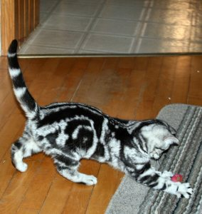 Image of American Shorthair classic silver tabby kitten playing with toy