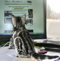 Image of American Shorthair silver tabby kitten looking at the Silver Shorthairs website on computer