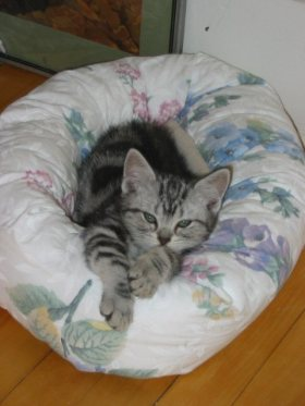 Image of silver tabby American Shorthair kitten curled up on white kitty bed