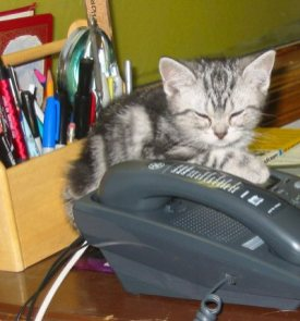Image of silver tabby American Shorthair kitten falls asleep on office desk phone