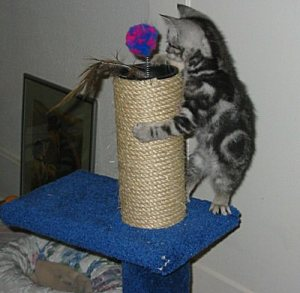 Image of silver tabby American Shorthair kitten playing with toy on sisal wrapped scratching post