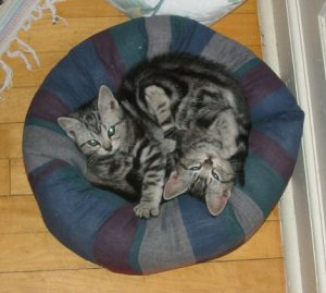Image of two American Shorthair silver tabby kittens snuggled up in blue kitty bed for a nap
