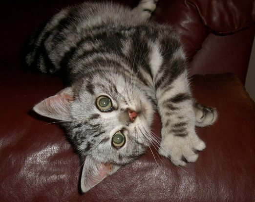 Image of American Shorthair silver tabby lying on red leather couch looking up