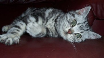 Image of American Shorthair silver tabby lying on side on red leather couch