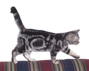 Image of gray silver tabby American Shorthair walking on back of striped sofa showing bullseye pattern