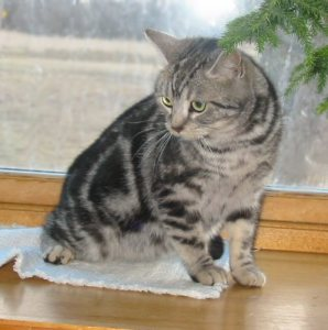 Image of gray silver tabby American Shorthair cat sitting on wood windowsill