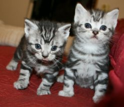 Image of two American Shorthair silver tabby kittens