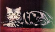 Image of American Shorthair classic silver tabby male
