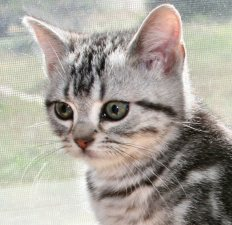 Close up image of American Shorthair classic silver tabby kitten