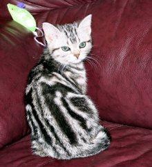 Image of American Shorthair classic silver tabby kitten showing back dorsal stripes