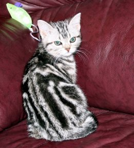 Image of American Shorthair classic silver tabby kitten showing back dorsal stripes