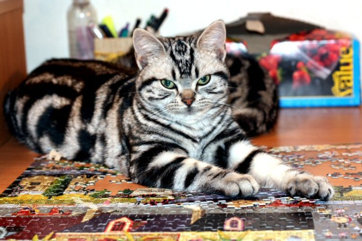 Image of American Shorthair classic silver tabby cat lying on partially completed jigsaw puzzle