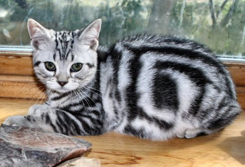 Image of American Shorthair silver tabby kitten sitting on wood windowsill showing bullseye pattern