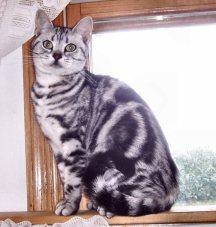 Image of American Shorthair silver tabby cat sitting on wood windowsill