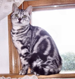 Image of American Shorthair silver tabby cat sitting on wood windowsill