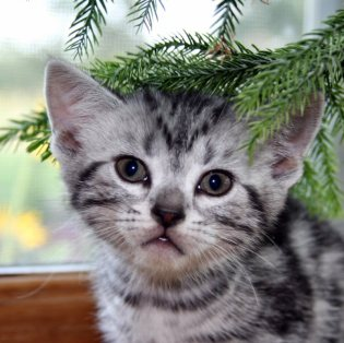 Image of silver tabby American Shorthair kitten in front of window under tree