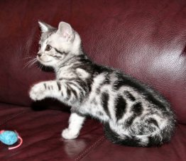 Image of silver tabby American Shorthair kitten on red leather couch