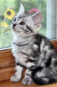 Image of American Shorthair kitten in front of window with yellow flowers