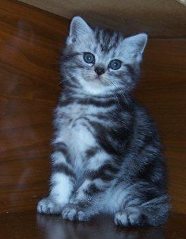 Image of fluffy silver tabby kitten