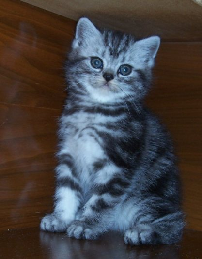 Image of gray silver tabby American Shorthair kitten