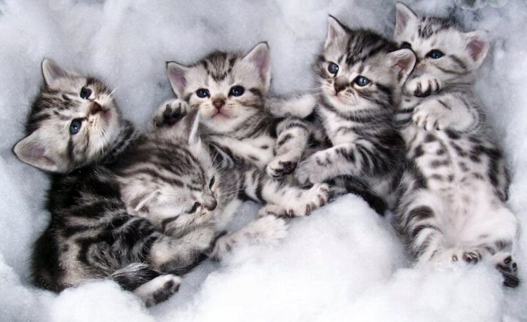 Image of litter of five American Shorthair silver tabby kittens lying on backs with spotted bellies