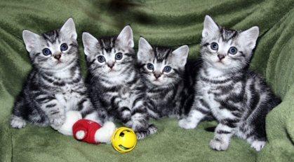 Image of litter of 4 American Shorthair kittens on green background