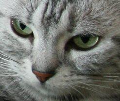 Image of American Shorthair emerald green eyes