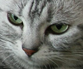 Image of American Shorthair emerald green eyes