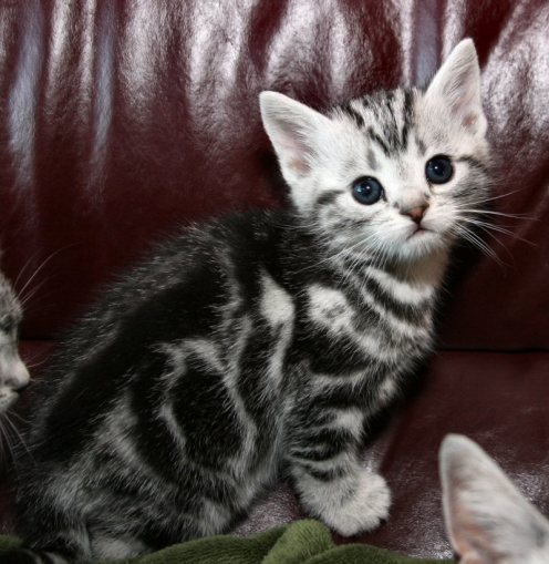 Image of male American Shorthair classic silver tabby kitten right side face view