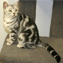 Image of American Shorthair female silver tabby sitting on cat tree left side face