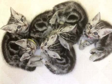 Image of a Kitten pile of five American Shorthair silver tabby kittens