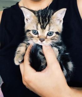Image of American Shorthair classic brown tabby kitten held in one hand