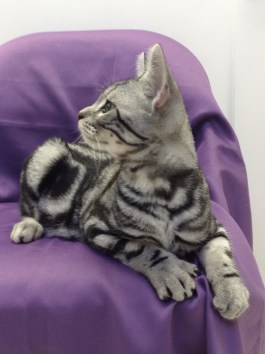 Image of American Shorthair silver tabby male kitten on purple chair left side profile necklaces