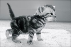 Black and white image of silver gray tabby American Shorthair kitten taking first steps