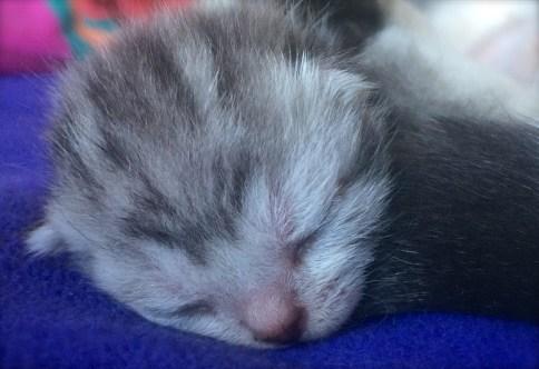 Image of Newborn American Shorthair silver tabby kitten on blue blanket