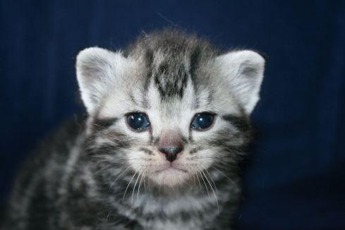 Image of gray American Shorthair silver tabby kitten