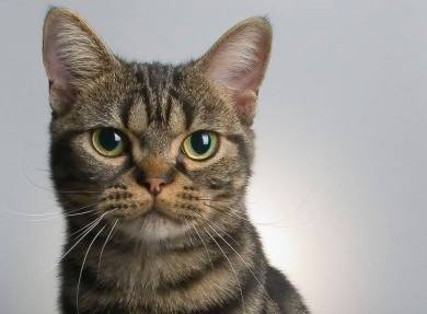 Image of American shorthair brown tabby round eyes broad head face