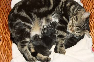Image of American Shorthair brown tabby cat nursing litter of kittens