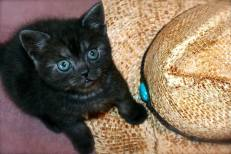 Image of American Shorthair black smoke kitten with green eyes sitting beside cowboy hat