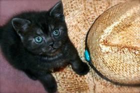 Image of American Shorthair black smoke kitten with green eyes sitting beside cowboy hat