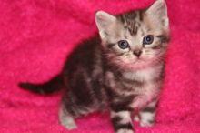 Image of American Shorthair silver tabby Kitten on pink backdrop