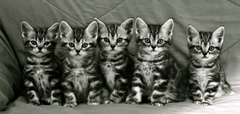 Black and White image of Litter of five American Shorthair silver tabby kittens sitting in a row