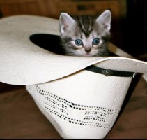Image of American Shorthair kitten inside cowboy hat
