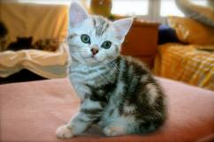 Image of American Shorthair silver tabby kitten sitting on pink footstool