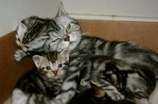 Image of American Shorthair silver tabby cat in a box with her kittens