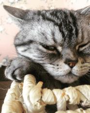 Image of American Shorthair silver tabby cat sleeping in basket