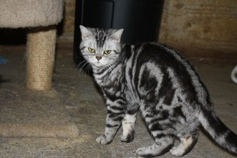Image of American Shorthair gray silver tabby cat with gold eyes
